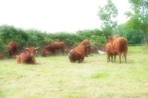 les vaches salers 04 by KIKIphotolove