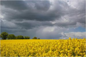 Spring 2015 - Rapeseed arrived - I by 51ststate