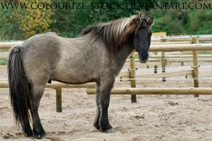 Icelandic Horse 1 by Colourize-Stock