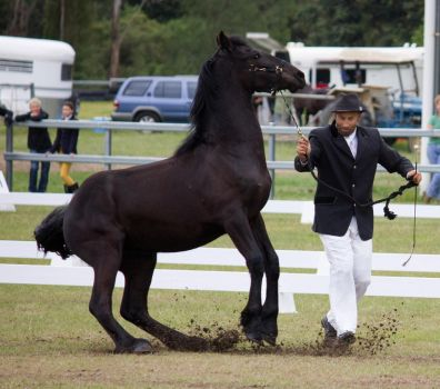 STOCK - Friesian Show 2012-50 by fillyrox
