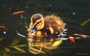 The Lonely Duckling II by MyLifeThroughTheLens