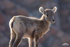 Young Bighorn by yenom