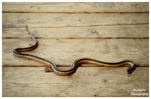 A  Gartersnake On My Deck! by TheMan268