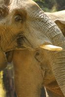An elephant love song by f-i-g-m-e-n-t