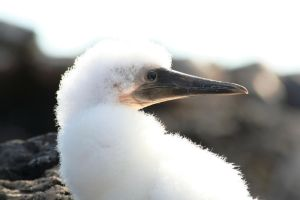 Nazca Booby Chick by Serendith