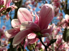 Magnolia 4 by Michies-Photographyy