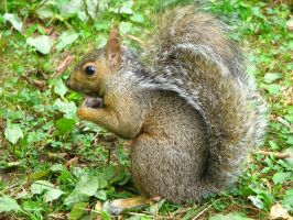 Squirrel by MatChambers