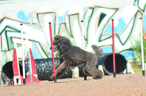 Standard Poodle by Tapire