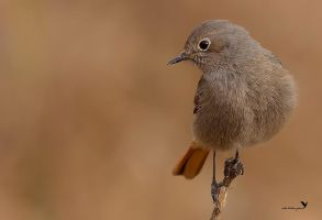 Black redstart by ardanuc