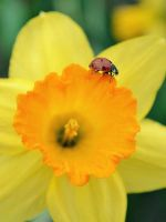 .:The Ladybug and the Daffodil:. by bogdanici
