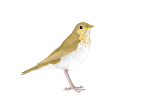 Veery Graphic by Dragonmistral