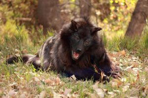 Nighttale the Happy Puppy Black Wolf by Zhon