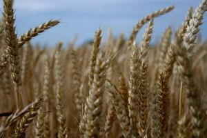 Wheat by Melikie