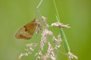 Meadow brown /2 by andabata
