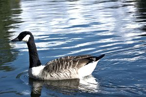 Canadian Goose by johnwaymont