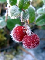 Lingonberry Frost by bananizen