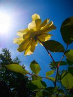 Sunshine Flower by Becky125