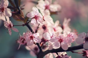 Cherry Blossom by sztewe
