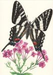 zebra swallowtail by JoeMacGown