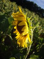 Sunflower from the side by camnabis