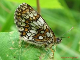 Heath Fritillary by Terrydunk
