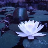 Luminous Lotus Flower by TheSwanDive