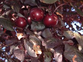 cherry type things by dproberts