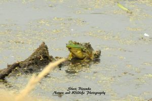 Frog by Sheriannphotography