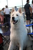 Brody at the dog show by tribandejoyce