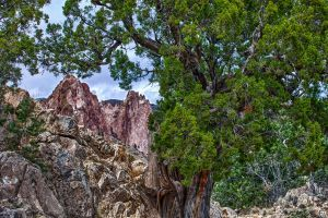 Twisty Tree at Garden of the Gods by jbkalla