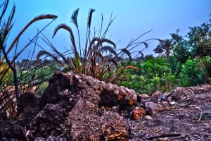 Burned dead palm ... !! by musi1