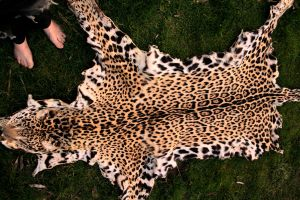 Antique Jaguar Pelt by NaturePunk