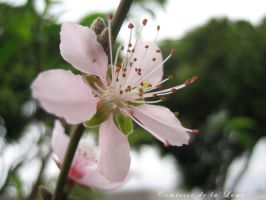 Peach Blossom by Comtessedelalune