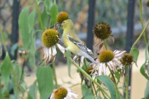 A Visitor In the Cone Flowers, Gold Finch Back 2 by Miss-Tbones