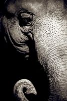 Elephant Portrait by JessicaM