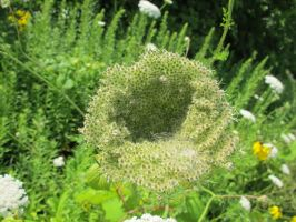 A Bowl of Queen Anne's Lace 1a by Windthin