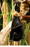 Livingstone Fruit Bat by In-the-picture