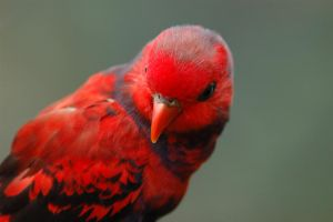 Little Cute Red Parrot by wiltz