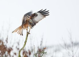 Red Kite Landing on Tree by joeelway