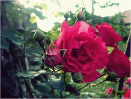 ..Rose.. by JustMe255