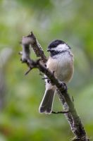 Black capped chickadee by GuillaumGibault