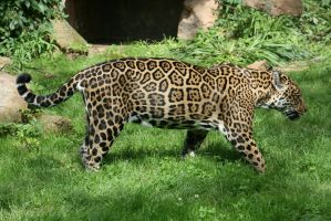jaguar in Zoo 7 by ingeline-art