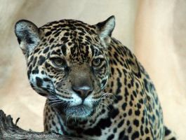 Jaguar 3 by Martina-WW