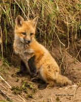 Fox Kit by Les-Piccolo