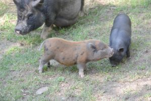 These Little Piggies, Mommy and Babies by Miss-Tbones