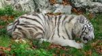 Wild animal 230 - young white tiger by Momotte2stocks