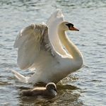ABS (and cygnet) by AdrianSadlier