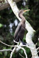 Neotropic Cormorant by Pharmagician