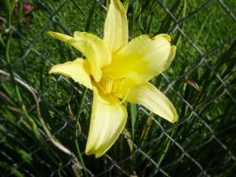 Day Lily by Amour-de-Dante