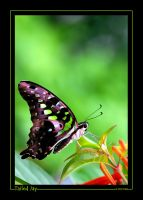 Tailed Jay by ewm